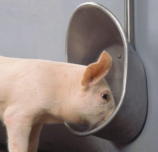 adapatori porci