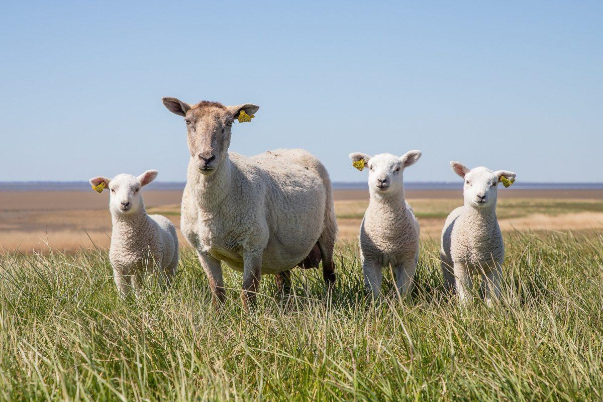 sarea pentru oi
